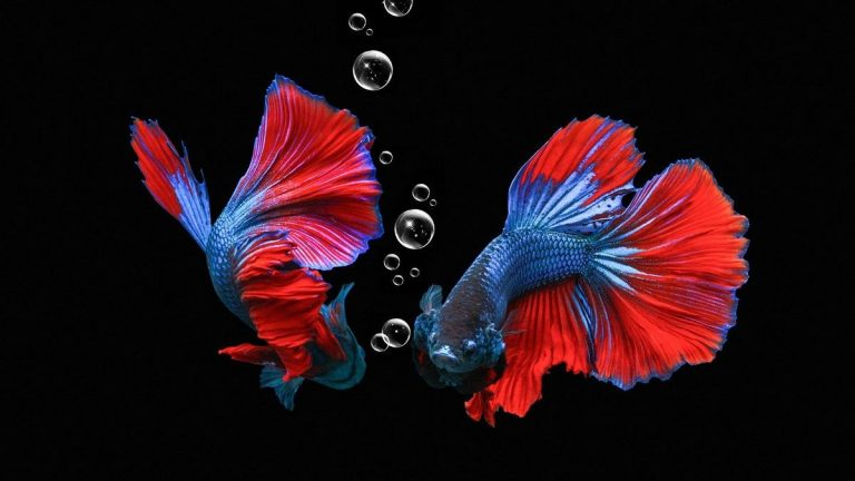 Betta Fish 101 Care Guide For Beginners